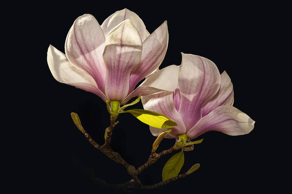 Photograph - Magnolia Tree Blossoms No. 040 by Randall Nyhof