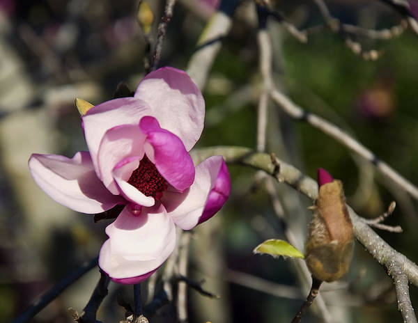 Digital Art - Magnolia Tree Flower And Bud by Chris Flees