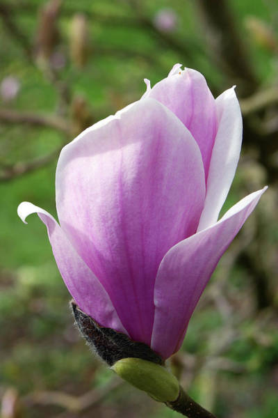 Saucer Magnolia Photograph - Magnolia X Soulangeana 'burgundy' by Neil Joy/science Photo Library