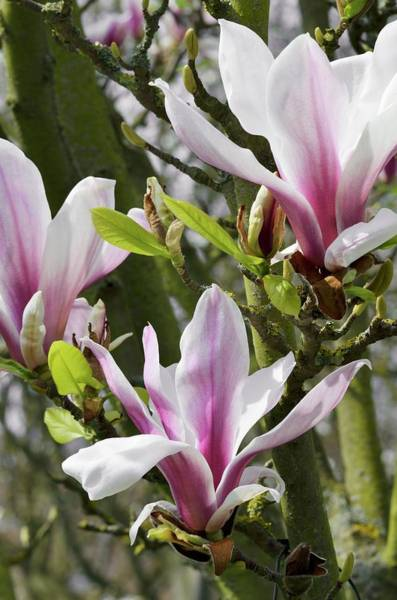 Saucer Magnolia Photograph - Magnolia X Soulangeana 'picture' by Jane Sugarman