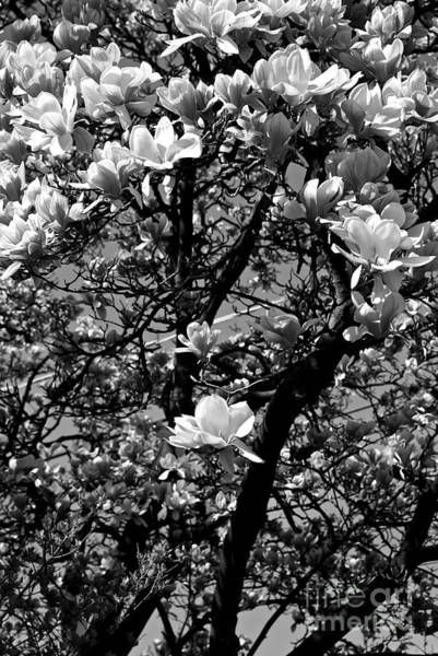 Photograph - Magnolias In White by Frank J Casella