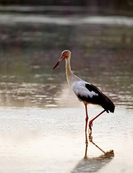 Wall Art - Photograph - Maguari Stork by Tony Camacho/science Photo Library