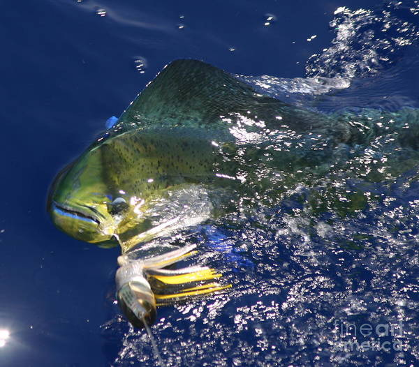 Wall Art - Photograph - Mahi  by Carol Lynne