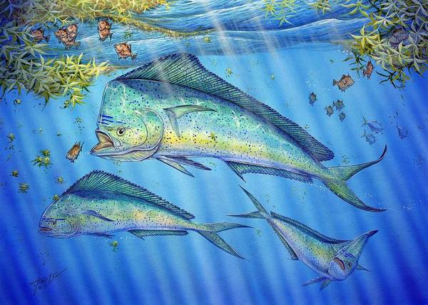 Painting - Mahi Mahi In Sargassum by Terry Fox