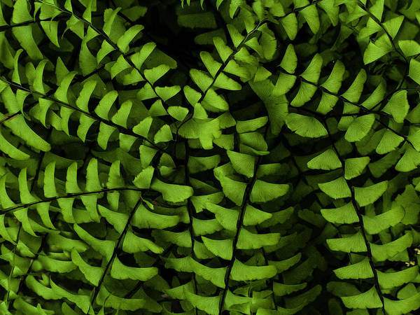 Photograph - Maidenhair Fern by Curtis Dale