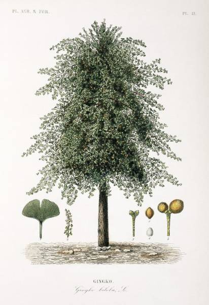 Vegetal Photograph - Maidenhair Tree, 19th Century by Science Photo Library