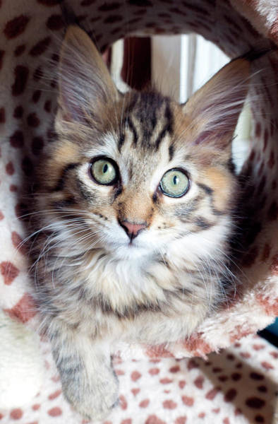 Felis Silvestris Photograph - Maine Coon Kitten by Louise Murray