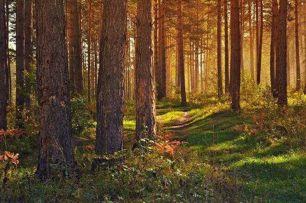 Wall Art - Photograph - Maine Pine Forest Bathed In Light by Movie Poster Prints