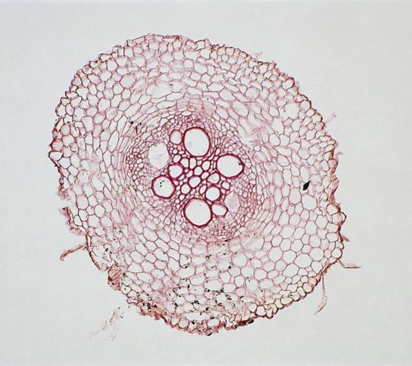 Cross Section Photograph - Maize Root by Dorling Kindersley/uig