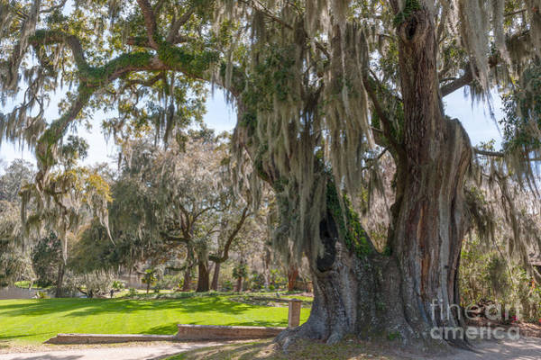 Photograph - Majestic Live Oak Tree by Dale Powell