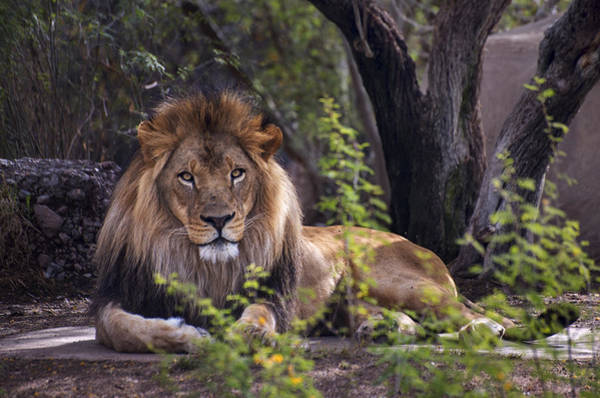 Photograph - Majestic Lion by Dave Dilli