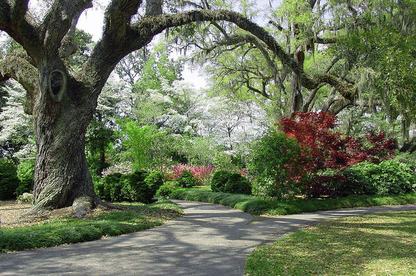 Seasonal Wall Art - Photograph - Majestic Live Oaks In Spring II by Suzanne Gaff