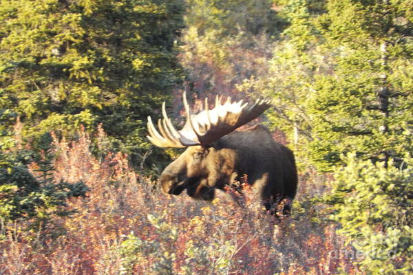 Photograph - Majestic Moose by Barbara Von Pagel
