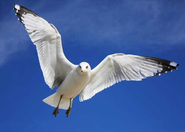 Photograph - Majestic Seagull by Sheila Kay McIntyre
