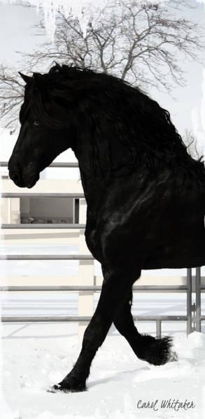 Photograph - Majestic Stallion by Carol Whitaker