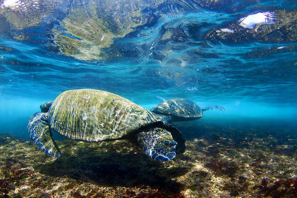 Turtle Photograph - Majestic Turtle by Sean Davey