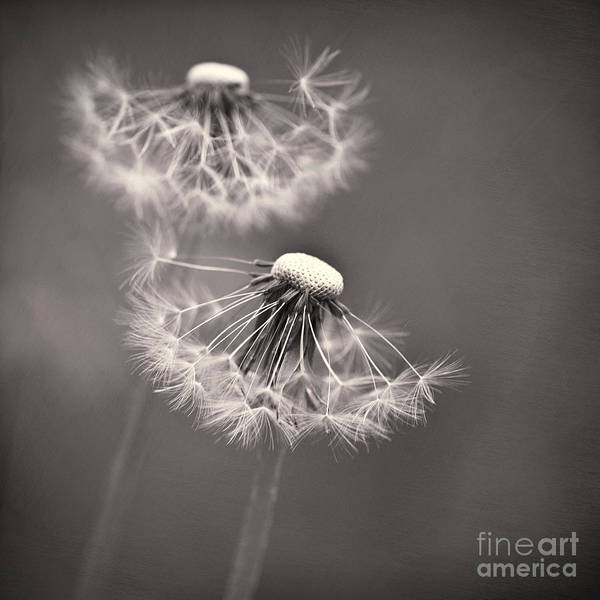 Flower Head Photograph - make a wish I by Priska Wettstein