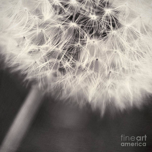 Flower Head Photograph - make a wish III by Priska Wettstein