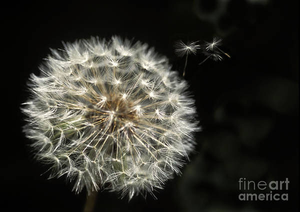 Seed Head Wall Art - Photograph - Make A Wish by Jan Bickerton