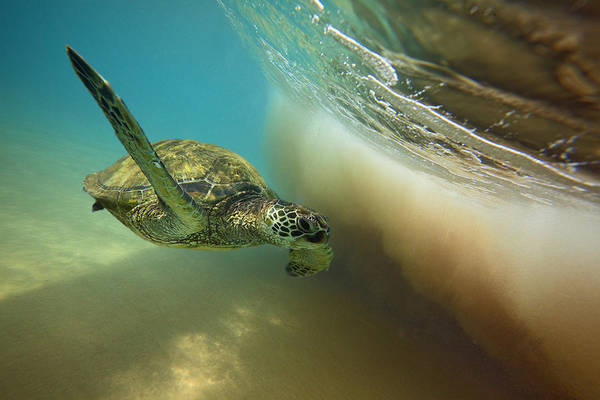Turtle Photograph - Makena Surfer by James Roemmling