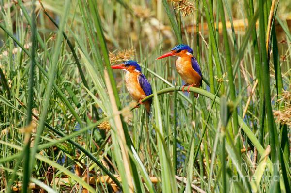 Alcedo Photograph - Malachite Kingfishers by Art Wolfe