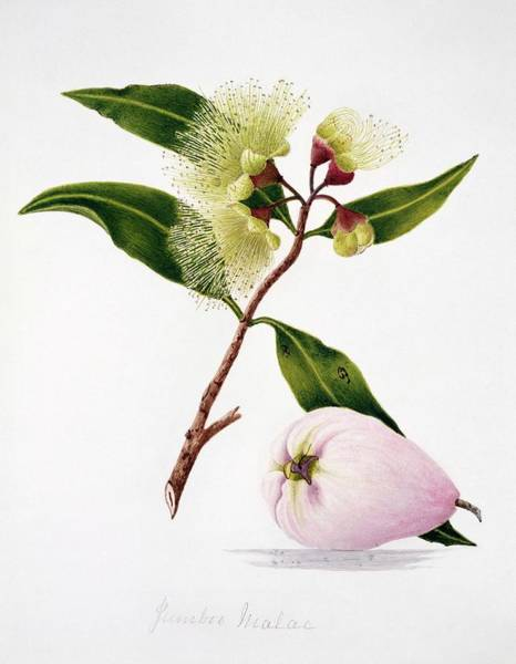 Wall Art - Photograph - Malay Apple Flowers And Fruit by Natural History Museum, London/science Photo Library