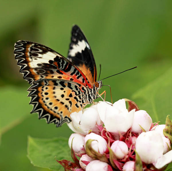 Photograph - Malay Lacewing by Grant Glendinning