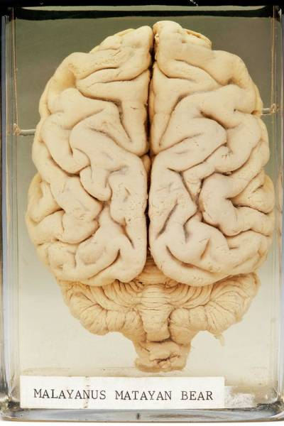 Ursidae Wall Art - Photograph - Malayan Sun Bear Brain by Ucl, Grant Museum Of Zoology