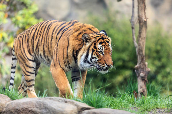 Photograph - Malayan Tiger by Keith Allen