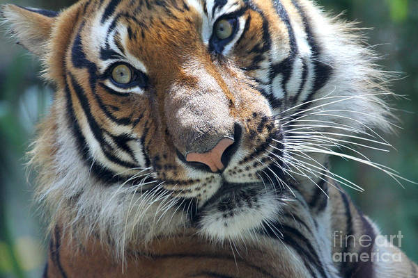 Photograph - Malayan Tiger by Meg Rousher