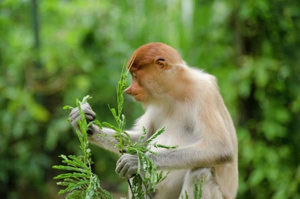 Nasalis Photograph - Malaysia, Island Of Borneo, Sabah, Kota by Cindy Miller Hopkins