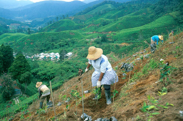 Wall Art - Photograph - Malaysia Tea Farming by James Steinberg