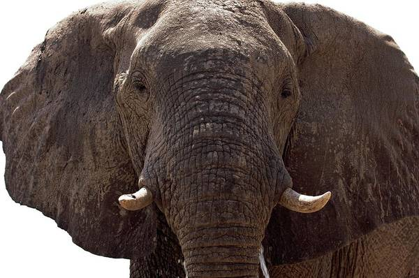 Africana Photograph - Male African Elephant by Dr P. Marazzi/science Photo Library