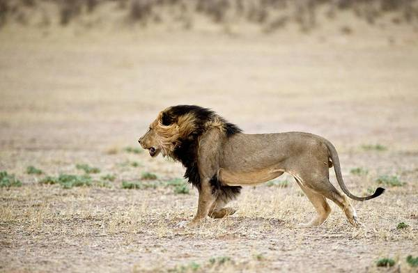 Big 5 Photograph - Male African Lion by Tony Camacho/science Photo Library