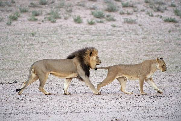 Behaviour Photograph - Male African Lion With Female In Oestrus by Tony Camacho