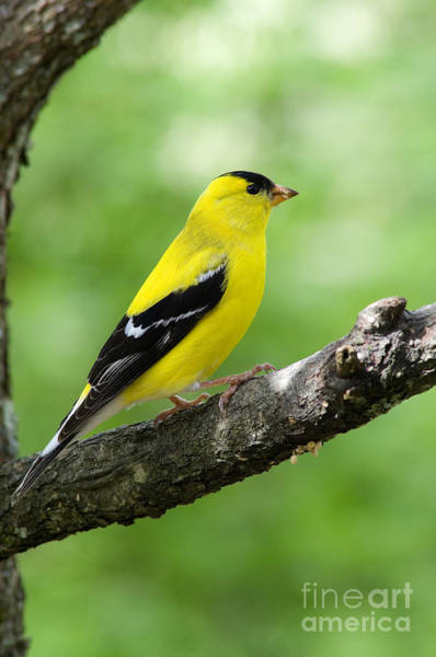 Finch Photograph - Male American Goldfinch by Thomas R Fletcher