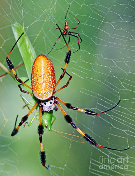 Golden Orb Spider Photograph - Male And Female Silk Spiders With Prey by Millard H. Sharp