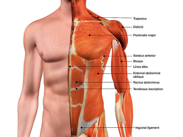 External Abdominal Oblique Photograph - Male Anterior Thoracic Wall Chest by Hank Grebe