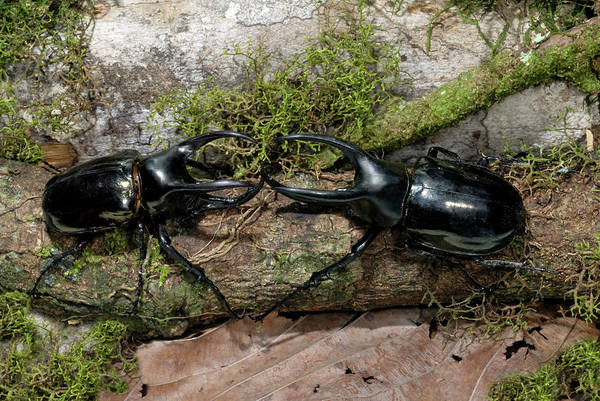 Rhinoceros Photograph - Male Atlas Beetles In Fighting by Sinclair Stammers/science Photo Library
