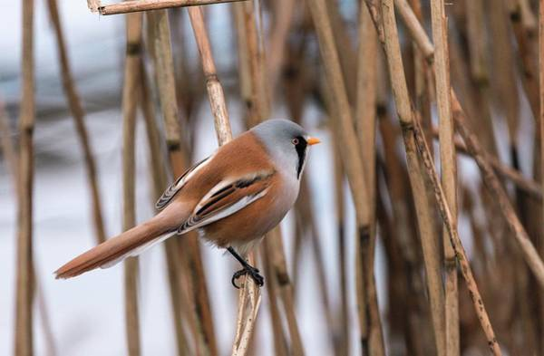 Norfolk Photograph - Male Bearded Tit Among Reeds by Bob Gibbons/science Photo Library