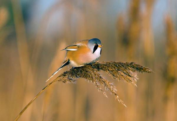 Tit Photograph - Male Bearded Tit by Bob Gibbons/science Photo Library