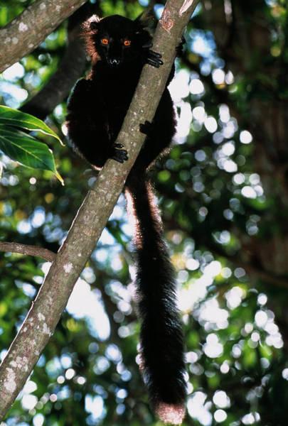 Lemurs Photograph - Male Black Lemur by Tony Camacho/science Photo Library