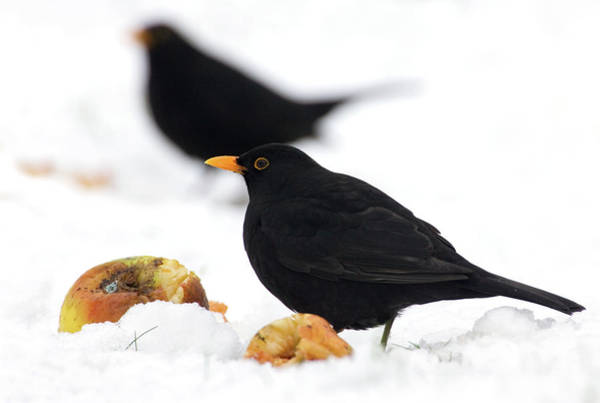 British Food Photograph - Male Blackbirds by John Devries/science Photo Library