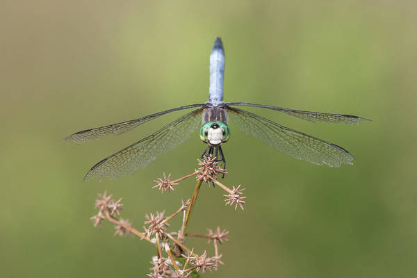 Dasher Photograph - Male Blue Dasher Pachydiplax by Animal Images