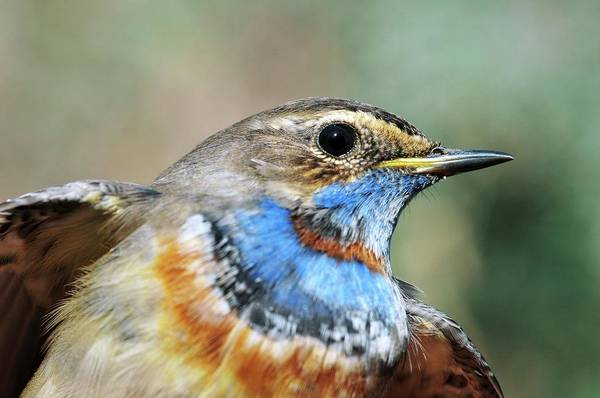 Wall Art - Photograph - Male Bluethroat by Photostock-israel/science Photo Library
