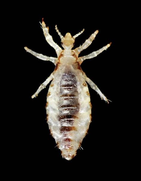 Arthropods Wall Art - Photograph - Male Body Louse by Cdc