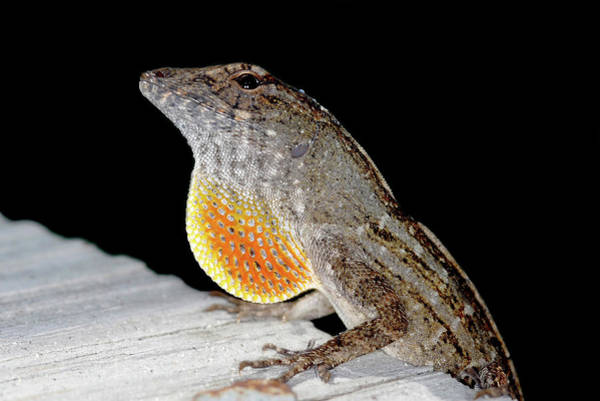 Introduced Species Photograph - Male Brown Anole by Clay Coleman/science Photo Library