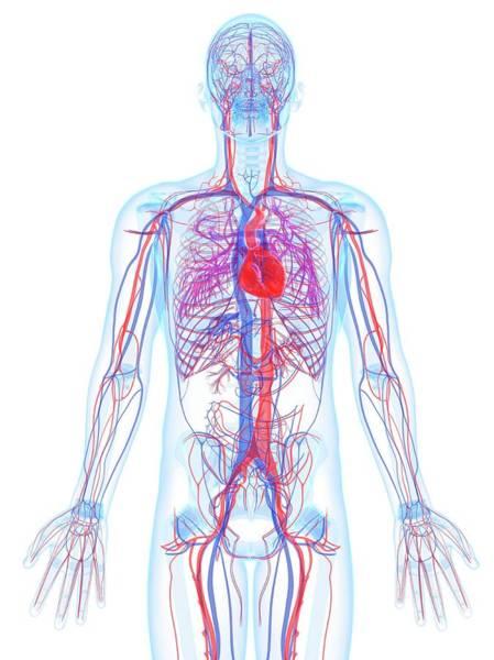 Lifestyles Digital Art - Male Cardiovascular System, Artwork by Sciepro