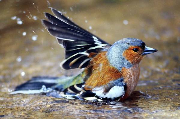 Wall Art - Photograph - Male Chaffinch Bathing by Colin Varndell