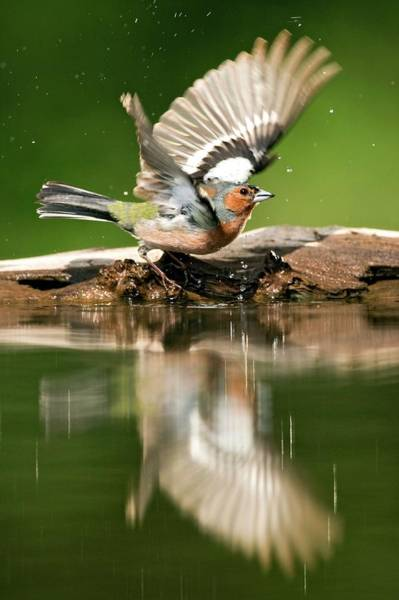 Wall Art - Photograph - Male Chaffinch Bathing by John Devries/science Photo Library